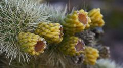 Jumping cholla cactus cylindropuntia fulgida 5 Stock Footage