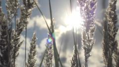 Poaceae Wild Spike in Wind into the Sun HD Stock Footage