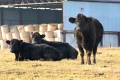 Stock Photo of black cow