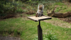 Wildlife and nature scene of squirrel feeding on bird table Stock Footage