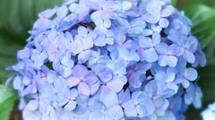 Nature Hortensia Hydrangea-01 - stock footage