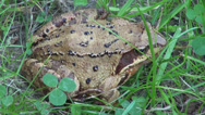 Stock Video Footage of Agile frog in the grass, Rana Dalmatina, forest frog, closeup
