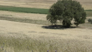 Stock Video Footage of Wheat field with oak tree - Campo di grano con quercia