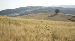 Wheat field - Campo di grano - stock footage