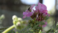 Stock Video Footage of Flower with bee - Fiore con ape
