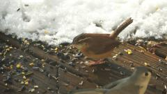 Bird Looks for Food in Snow (Wren) Stock Footage