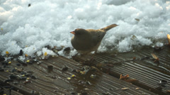 Bird Looks for Food in Snow (Junco) Stock Footage