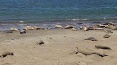 Walruses on the coast sunbathing Stock Footage