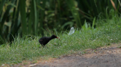 Bird chick, running on grass (Animals) Stock Footage