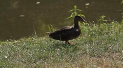 Brown duck on grass (Animals) Stock Footage