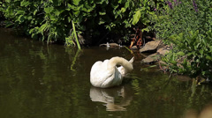 Swan in a pond (Animals) Stock Footage
