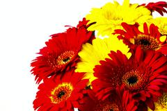 Flower gerber Stock Photos