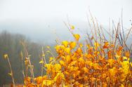 Stock Photo of bright yellow leaves on bush, misty backgrownd