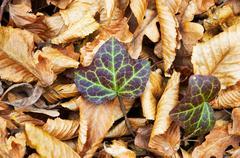 Ivy grows thru fallen autumn tree leaves Stock Photos