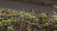 Flock of sparrows standing on the fence and flying. Stock Footage