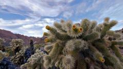 Jumping cholla cactus cylindropuntia fulgida 14 Stock Footage