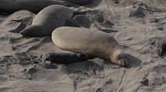 Elephant Seal Mothers Stock Footage