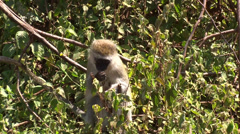 Vervet monkey eats berries from a bush Stock Footage