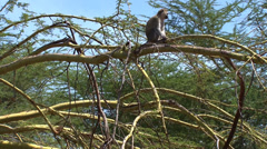 Vervet monkey sits on a tangle of branches Stock Footage