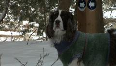 English Springer Spaniel in snow. Stock Footage