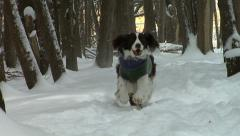 Springer Spaniel running in snow. Stock Footage