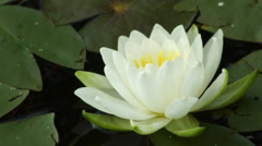 A Lilypad Flower on a Lake Stock Footage