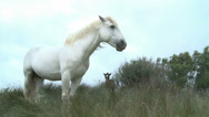 Stock Video Footage of White horse in Camargue