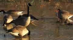 Geese Seach for Food in Shallow Water Stock Footage