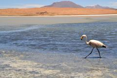Flamingos on lake in the southern part of bolivia Stock Photos
