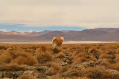 Vicuna/lama in the andes, bolivia Stock Photos