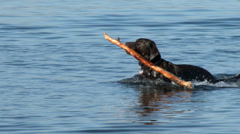 Labrador Retriever Swimming and Fetching In an Off Leash Park Stock Footage