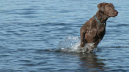Stock Video Footage of dog, park, wet, fetch, run, swim, play, Retreiver