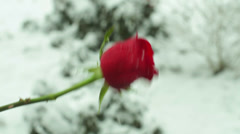 Rose flower snow winter Stock Footage