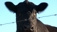 Angus cow nervous Stock Footage