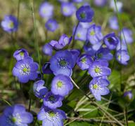 hepatica nobilis - stock photo
