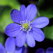 hepatica nobilis.JH - stock photo