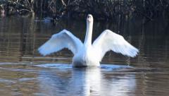Stock Video Footage of Swan dance