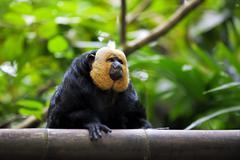 White-faced Saki Monkey Stock Photos