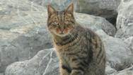 Cat On Rocks Stock Footage