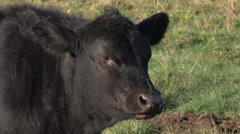 Angus cow in the field - stock footage