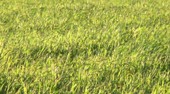 Grassland Wind Stock Footage