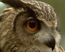 Eagle-Owl turns head on camera - close up Stock Footage