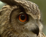 Stock Video Footage of Eagle-Owl turns head on camera - close up
