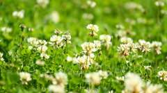 White clover - stock footage
