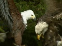 Bald Eagles (Haliaeetus leucocephalus) in pine tree - falconry birds - stock footage