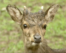 Sika deer (cervus nippon) young stag  - on camera Stock Footage