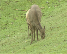 Sika deer (cervus nippon) with calf grazing - on camera Stock Footage