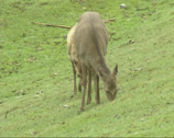Stock Video Footage of Sika deer (cervus nippon) with calf grazing - on camera