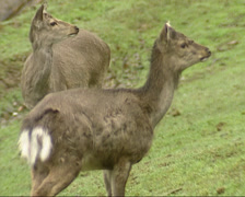 Sika deer (cervus nippon) young stag and female in winter coat - stock footage
