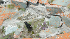 Alpine Chough at Alps grossglockner mountain Stock Footage